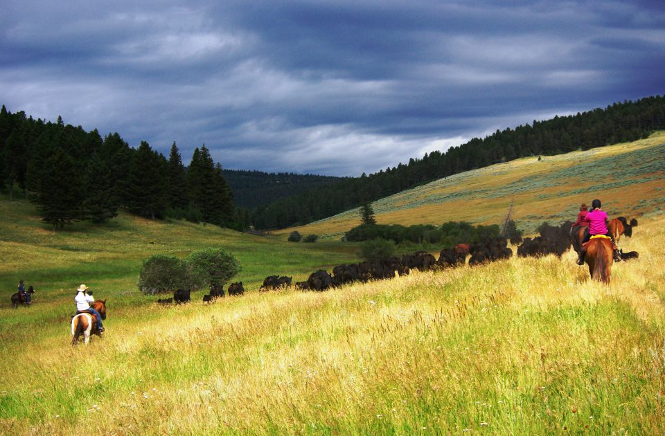 Working Cattle on the Bonanza Creek Guest Ranch