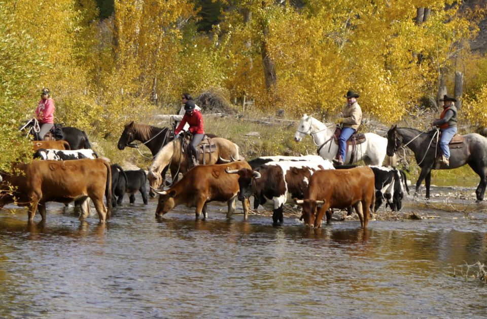 Working Cattle on the Rocking Z Guest Ranch