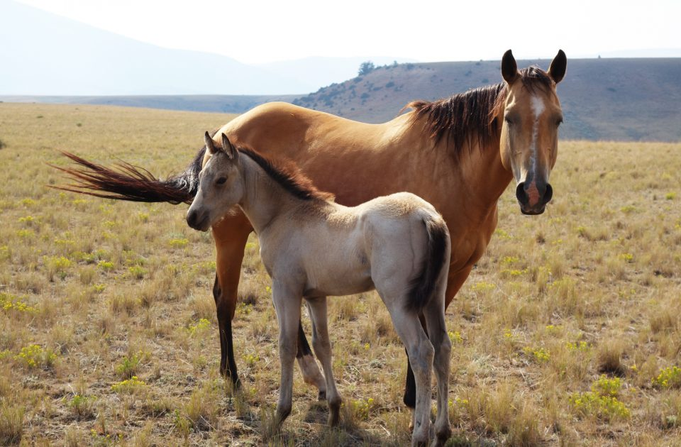 Mare and foal at Dryhead Ranch in Lovell, Wyoming