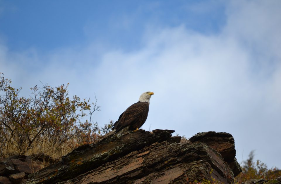 Watchable wildlife at the Rocking Z Ranch includes Bald Eagles