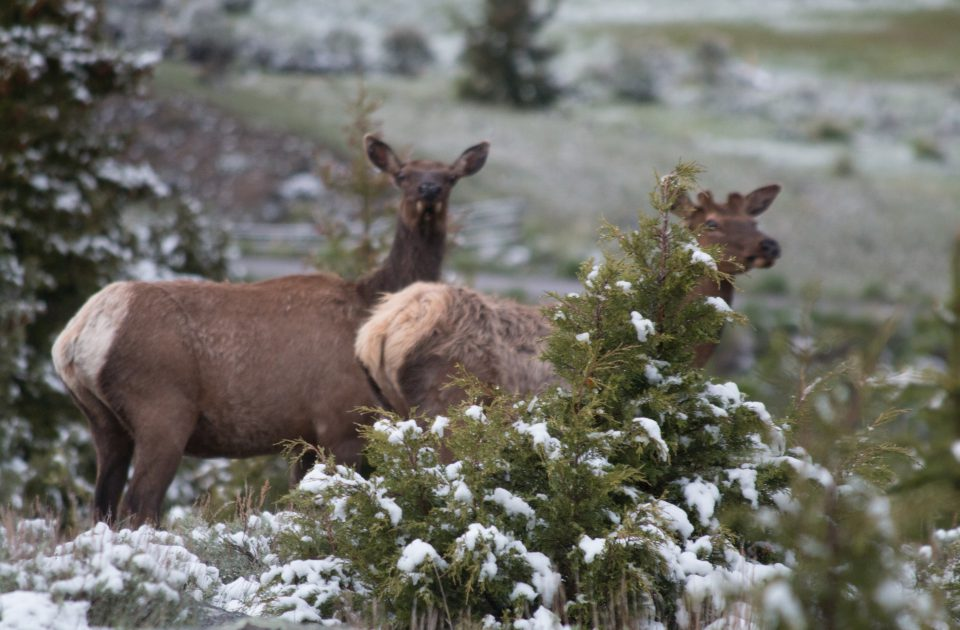 Watchable wildlife in Emigrant Montana | Elk