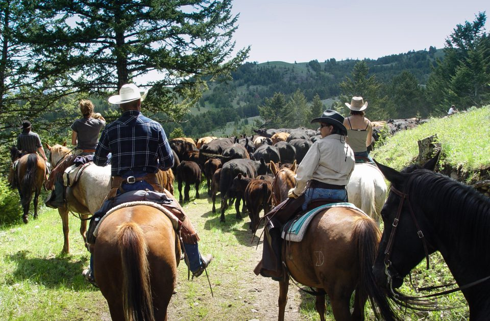 Working Cattle at Hubbard's Six Quarter Circle Guest Ranch