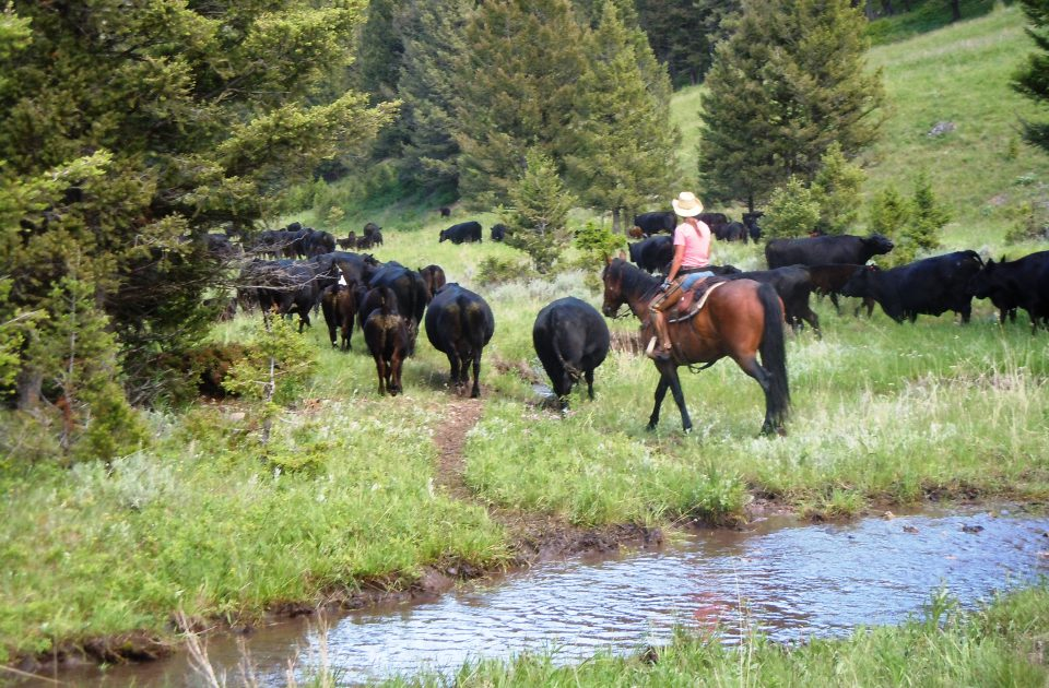 Vacation at a working cattle ranch in Montana