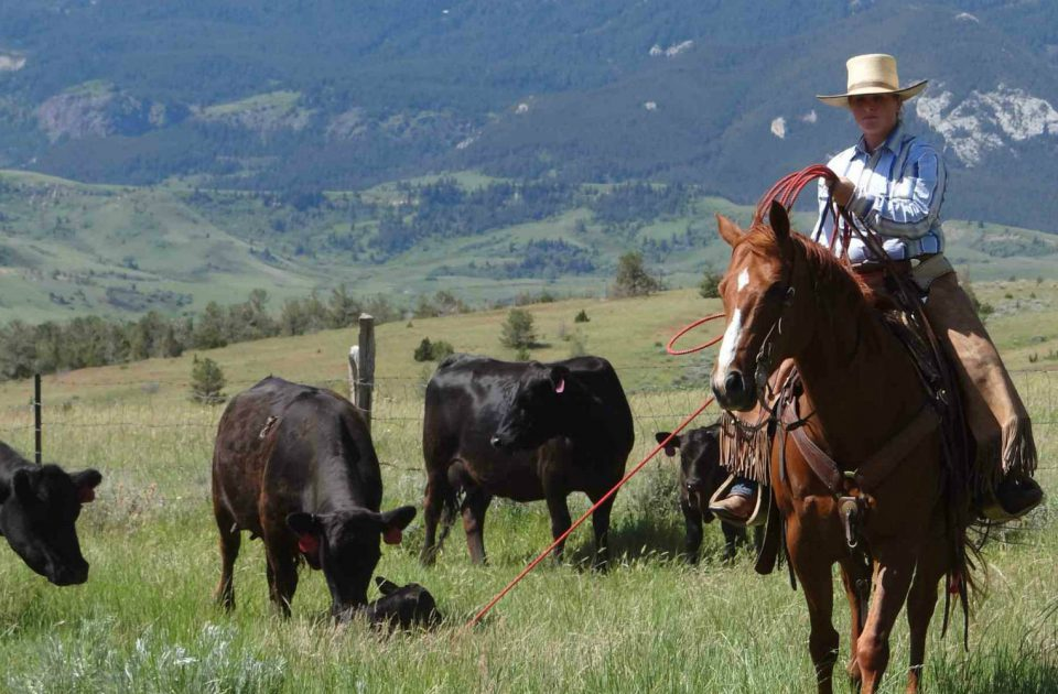 Working Cattle as part of a dude ranch vacation
