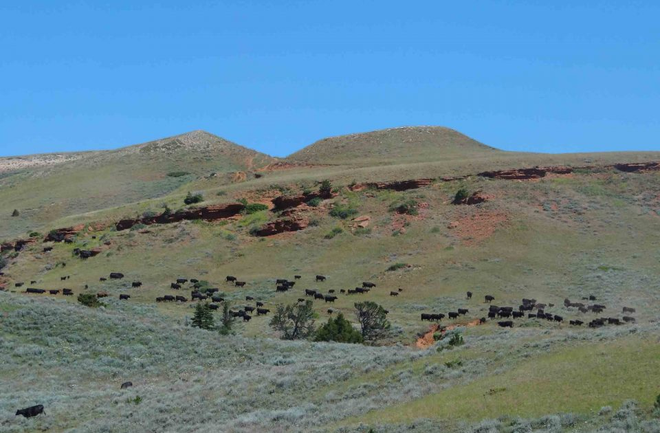 Cattle on the Dryhead Ranch