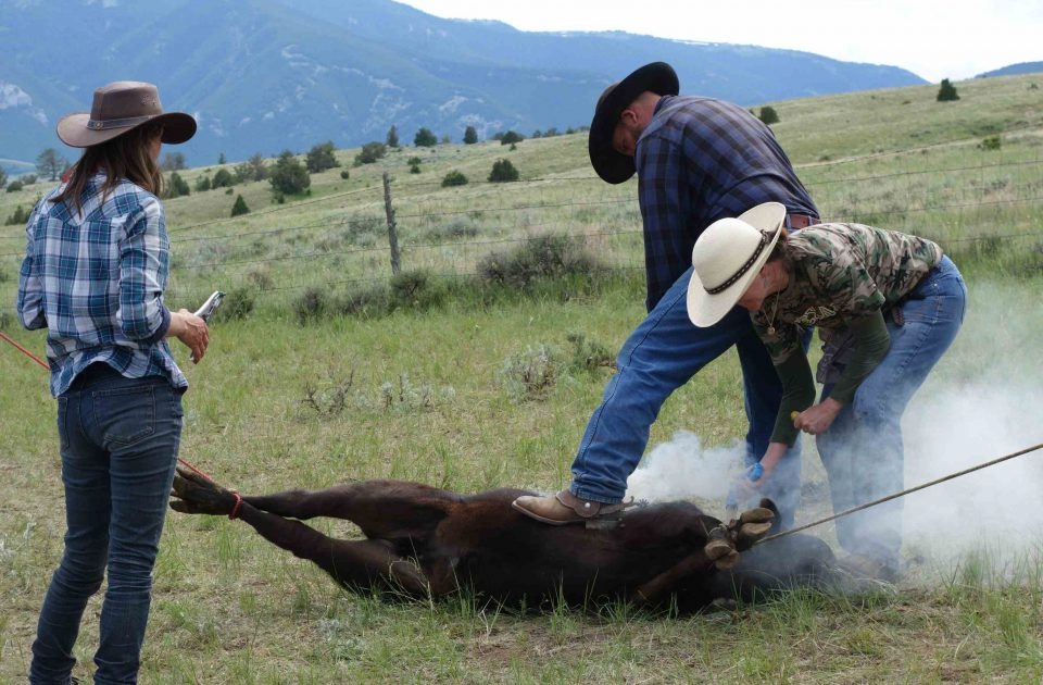 Branding is a core responsibility on the Dryhead Ranch