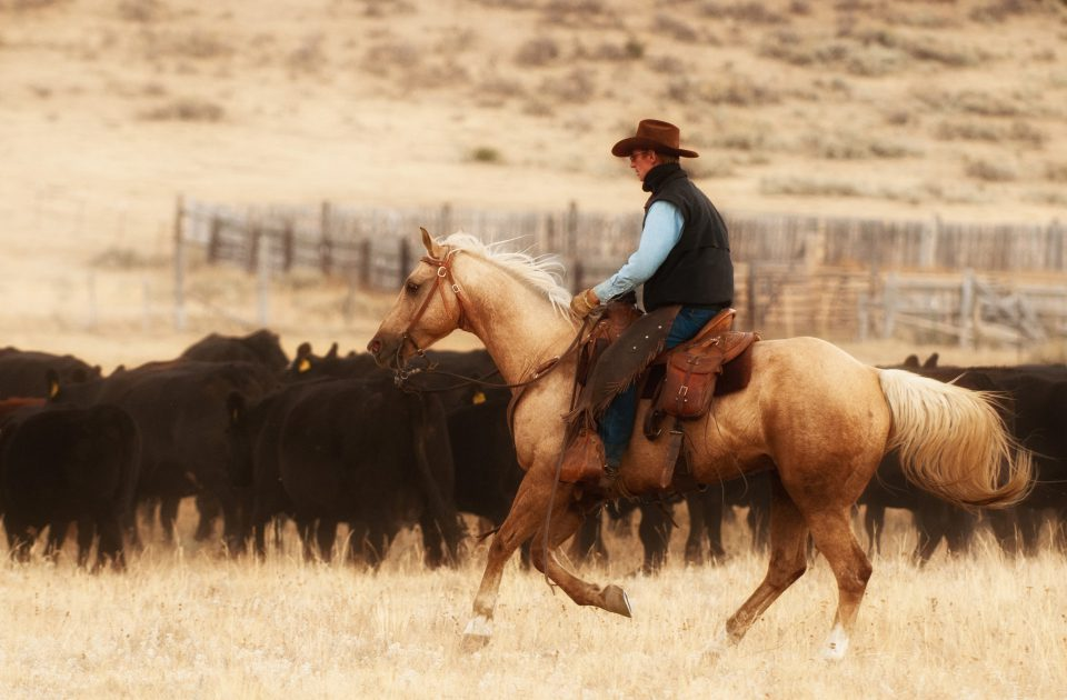 Working Cattle is just part of the job