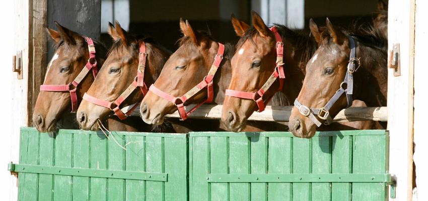 Six quarter horses