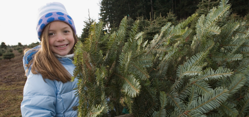A Forest Harvested Christmas Tree