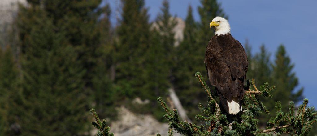 Bald Eagle near Wood Lake Montana