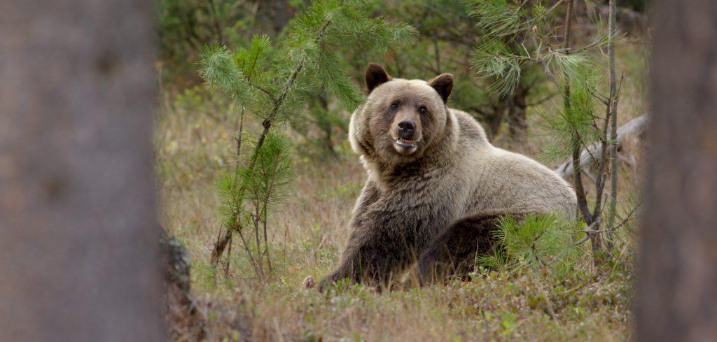 Grizzly Bear near Lincoln, Montana